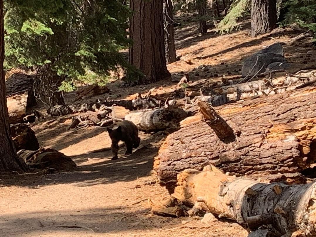 Yosemite - bear
